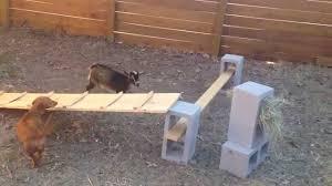 bucket the baby goat u0027s big jump goats on things youtube