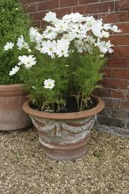 potted cosmos flowers u2013 how to grow cosmos in a pot