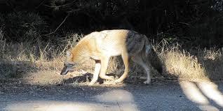 Can Coyotes See Red Light Coyotes In The Presidio The Presidio San Francisco