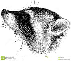 head of raccoon stock vector image 63468110