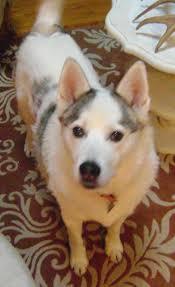 husky mixed with pomeranian laura williams