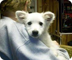 american eskimo dog houston the dead hairs in his coat naturally fall out he also comes in