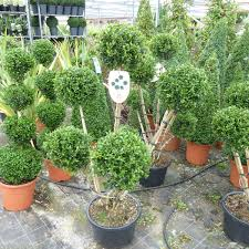 Pom Trees Buy Buxus Pom Pom Cloud Trees 20 Litre
