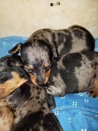affenpinscher illinois harlequin pinscher breed information and pictures on puppyfinder com