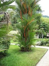 ornamental foliage plant for tropics lipstick palm