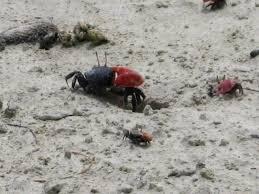 Pleins De Crabe Violonistes Très Le Tour Du Monde Des Montfortos L Ile Des Pins De Voyage