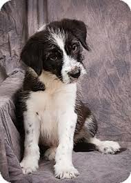 bearded collie and border collie mix grady adopted puppy anna il border collie terrier unknown