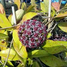 hoya plants rescued from a nursery