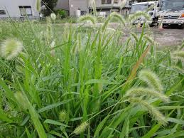 killing foxtail weeds information and tips for foxtail grass control