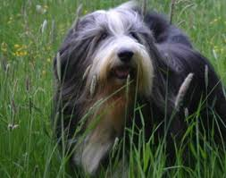 bearded collie x terrier bearded collie animals a z animals
