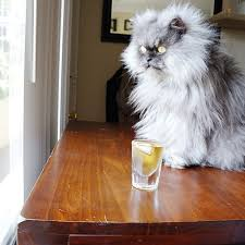 Colonel Meow Memes - colonel meow has the right idea mmmm scotch imgur