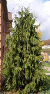 photographs of evergreen trees