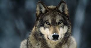 gray wolf national geographic pictures on animal picture society