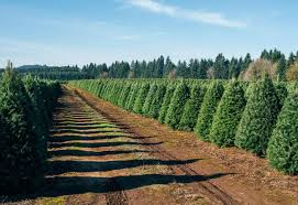 christmas tree farms in north carolina christmas lights decoration
