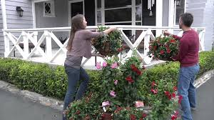 hanging basket plants for sun sun parasol mandevillas create a sanctuary on your balcony youtube