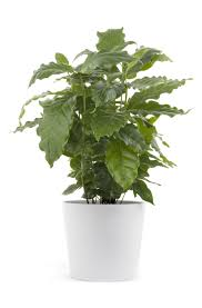 monstera plant care u2013 when and how to repot a swiss cheese plant