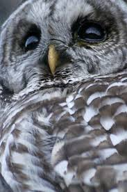 how an owl hears the infinite spider