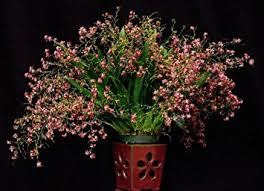 oncidium orchid oncidium twinkle orchid grocery