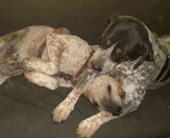 bluetick coonhound with cats coonhounds man u2013 persephone magazine