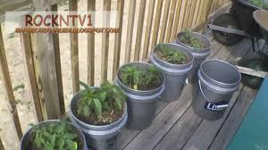 grow tomatoes in 5 gallon buckets youtube