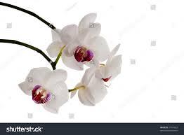 White Orchid Flower White Orchid Flower White Orchid Flower Hd Wallpaper Orchids