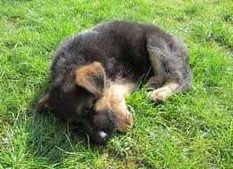 australian shepherd trackid sp 006 the 4395 best images about gsd on pinterest