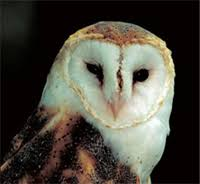 What Does A Barn Owl Look Like Owls Of Maryland Maryland U0027s Wild Acres