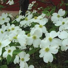 dogwood flowers white flowering dogwood flowering trees stark bro s