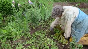 senior woman with waterproof clothes weed vegetable garden in the