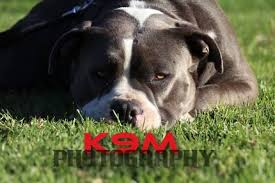 american pitbull terrier gumtree photo finesse photography u0026 video gumtree australia