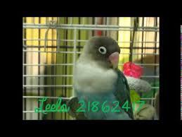 belgian shepherd for sale in india rare color australian breed love bird for sale in india youtube