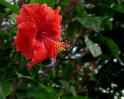 Which State Has A Hibiscus by Five Flowers That You Can Eat The Hindu