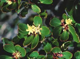 native plants tasmania tasmannia lanceolata male flowers the only tasmanian member of