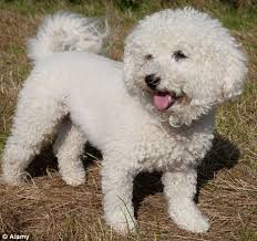 bichon frise long hair allergy free pets don u0027t waste your money on a hypoallergenic dog