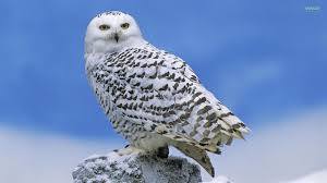 Owl Tag Wallpapers Scandiaca Owls Nyctea Owl Flight Bubo Animals
