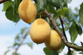 Online Fruit Trees For Sale - purple pershore plum trees for sale buy online friendly advice