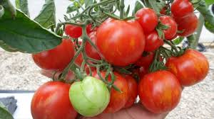 Bonnie Plants Patio Tomato Which Things Needed For Growing Tomatoes Tomato Gardening Tips