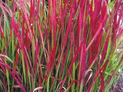 ornamental grasses add colour interest to garden the