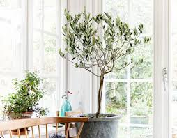 Small Indoor Trees by Olive Trees Indoors Our Best Tips For Care U0026 Growing Apartment