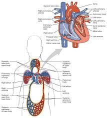 Human Anatomy Words Heart Anatomy Anatomy And Physiology
