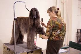 afghan hound national dog show beverly hills dog show presented by purina airing on easter