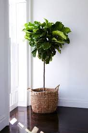 best 25 indoor tree plants ideas on indoor trees air