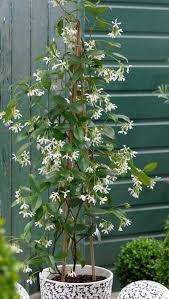 Fragrant Jasmine Plant - the 25 best jasmine plant for sale ideas on pinterest purple