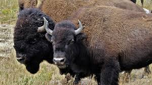 american buffalo spirit of a nation about nature pbs