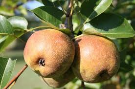 Backyard Fruit Trees Caes Newswire Home Orchards