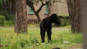 australian shepherd yoga video an australian shepherd watches his master at a distance before