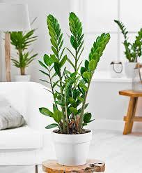 Buy House Plants Zamioculcas Gemma Di Zanzibar Foto Prodotto Sarthak