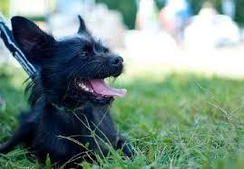 affenpinscher qualities buster one year old male affenpinscher chihuahua mix for adoption