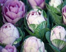 ornamental cabbage stock photo colourbox