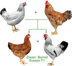 Backyard Chicken Breeds by Indigenous Chicken Breeds In Zimbabwe With Emerging Farmer Keeping